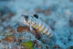 BD-150422-Maldives-7719-Parapercis-schauinslandii-(Steindachner.-1900)-[Redspotted-sandperch].jpg